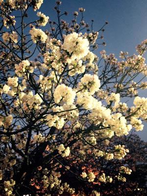 大阪造幣局の夜桜