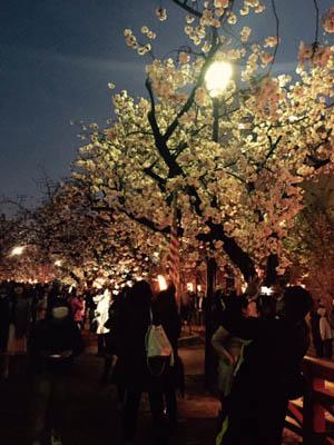 造幣局の桜とライトアップ