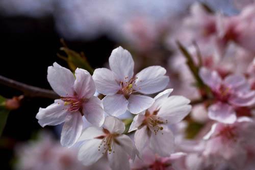 大阪造幣局「桜の通り抜け」2018年の日程と前回の様子を紹介!