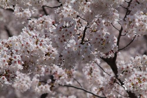 造幣局の夜桜は何日から?【動画あり】