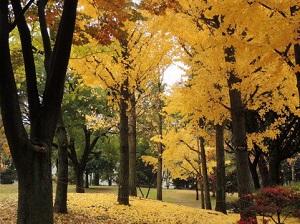 昭和記念公園の紅葉が見たい!2015年の見頃はいつ?