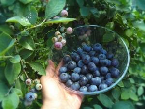 ブルーベリーの栄養!効果的な食べ方と摂取する時間に秘密が!