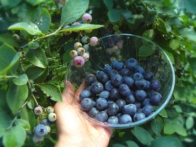 ブルーベリーの栄養素